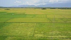 Brummen-Flug über grünen endlosen schönen Reis-Feldern stock video
