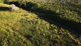 Brummen folgt Menge von den wilden Rotwild, die in atemberaubende Hirtenwiesenlandschaft des Graslandfeldes mit Blumen laufen stock footage