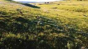 Brummenkamera, die den wilden Rotwild frei laufen in majestätische hügelige Wiesenlandschaft des einfachen Feldes in einem Nation stock footage