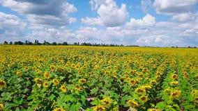 Brummenvideofeld von blühenden Sonnenblumen stock footage