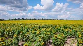 Brummenvideofeld von blühenden Sonnenblumen stock video
