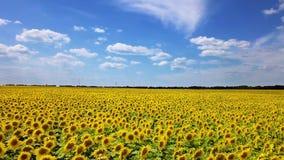 Brummenvideofeld von blühenden Sonnenblumen stock video footage