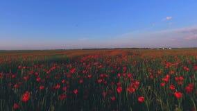 Brummenvogelperspektive des Blumenfeldes in den Niederlanden, Holland stock video footage