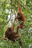 Brunögd vuxen orangutang som två hänger på filialerna Bohorok, Royaltyfri Bild
