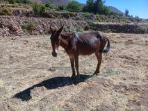 Brun åsna i berget Royaltyfria Foton