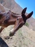 Brun åsna i berget Arkivfoton