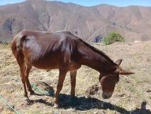 Brun åsna i berget Arkivfoto