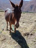 Brun åsna i berget Royaltyfri Bild