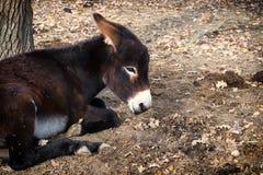 Brun åsna som ligger på jordningen fotografering för bildbyråer