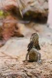 Brun ödla med sten- och sandbakgrund Royaltyfria Bilder