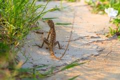 Brun ödla på vit sand i grönt gräs Exotiskt djur i lös natur Tropisk djungelskoginvånare Arkivbilder