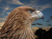 brun örn Royaltyfri Bild