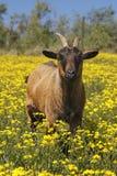 Brun afrikansk get i fältet av gula blommor Royaltyfria Bilder