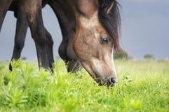 Brun arabisk häst som äter sommargräs royaltyfri fotografi