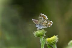 Brun argus fjäril, Aricia agestis Royaltyfria Foton