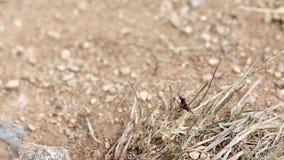 Brun bönsyrsa på ett torrt land stock video