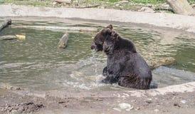 Brun barnbjörn som spelar nära vattnet Fotografering för Bildbyråer
