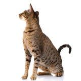 Brun bicolor katt på en vit bakgrund sitta och se tillbaka royaltyfri bild