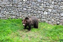 Brun björn Arkivbilder