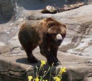 Brun björn Fotografering för Bildbyråer
