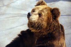 Brun björn royaltyfri bild