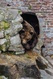 Brun björn 2 Royaltyfria Bilder