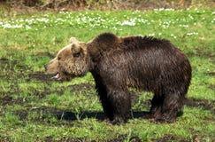 Brun björn Arkivfoto