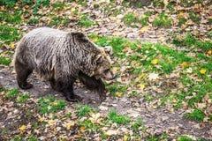 Brun björn Royaltyfria Bilder
