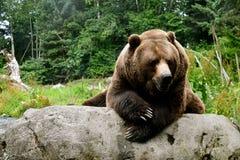 Brun björn 2 Fotografering för Bildbyråer