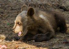 Brun björn arkivbild