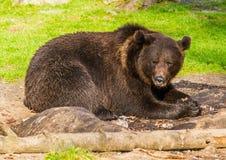 Brun björn arkivfoton