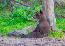 Brun björn royaltyfri foto