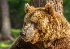 Brun björn royaltyfri fotografi