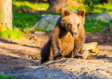 Brun björn Royaltyfria Foton