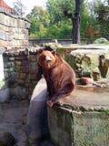 Brun björn i Zoo Arkivfoton