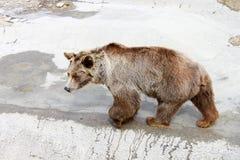 Brun björn i zooen Arkivfoton
