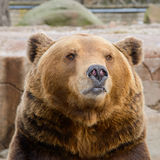 Brun björn i zooen Arkivbild