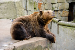 Brun björn i zooen Royaltyfri Foto
