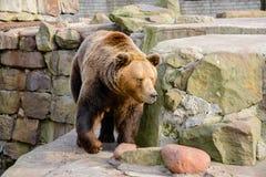 Brun björn i zooen Fotografering för Bildbyråer
