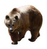 Brun björn Isolerat över vit royaltyfria foton