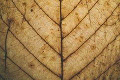Brun bladtextur och bakgrund Makrosikt av torr bladtextur Organisk och naturlig modell abstrakt textur och bakgrund Royaltyfri Fotografi