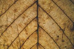 Brun bladtextur och bakgrund Makrosikt av torr bladtextur Organisk och naturlig modell abstrakt textur och bakgrund Arkivbilder