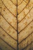 Brun bladtextur och bakgrund Makrosikt av torr bladtextur Organisk och naturlig modell abstrakt textur och bakgrund Fotografering för Bildbyråer
