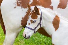 Brun blanc de poulain nouveau-né avec le cheval Photos libres de droits