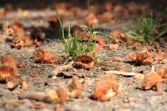 Brun bokollonmakro i höst på golv royaltyfri foto
