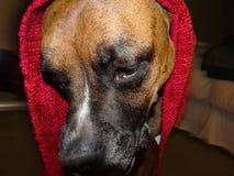 Brun boxarehund med en röd huv royaltyfria bilder