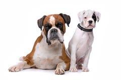 Brun boxarehund och en boxarevalp Arkivfoton