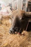 Brun buffel i fållan som äter gräs Royaltyfri Foto