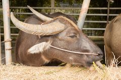 Brun buffel i fållan som äter torrt gräs sidobild Royaltyfri Fotografi
