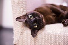 Brun Burmese kattdjur som ligger på stol Arkivfoto